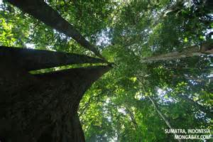 Rainforest Canopy Images by Rainforest Canopy Trees
