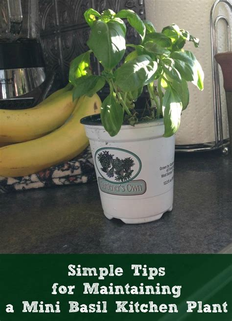 tips and tricks to maintaining an indoor kitchen herb simple tips for maintaining a mini basil kitchen plant