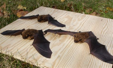 winter bat removal in hopkinton melrose and acton ma