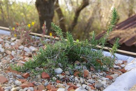 coltivare rosmarino in vaso rosmarino in vaso aromatiche coltivare il rosmarino in