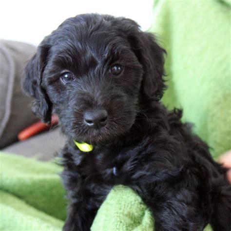 mini doodle puppy mini labradoodles f1b family friendly and only 15 30 lbs