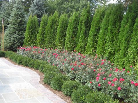 privacy trees for backyard pin by dimps on landscape ideas pinterest creative