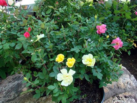 deadheading knockout roses 17 best images about knokout roses on