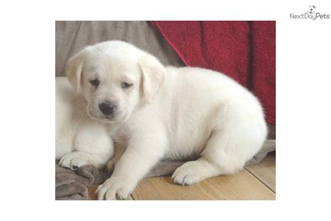 blockhead lab puppies for sale labrador retriever puppy for sale near texoma a6bba77a 9851