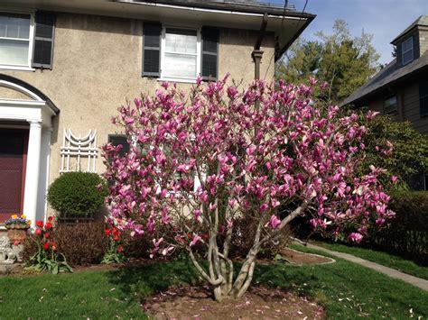 magnolia ricki  bloom cynthia dodd gardens garden garden design magnolia