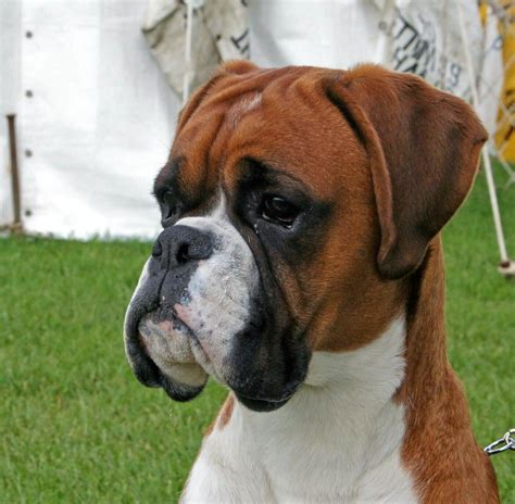 brown boxer puppy 45 amazing white and brown boxer golfian