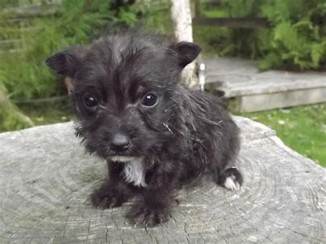 black west highland terrier puppies for sale jack russell x westie puppies llanwrda carmarthenshire