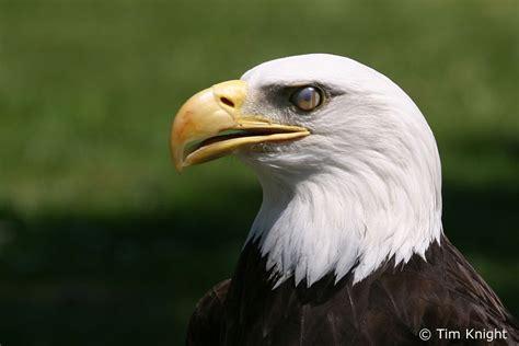 bald eagles bird population era duju wallpaper blog
