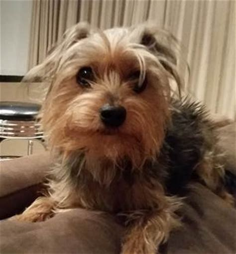 rescued yorkies for adoption yorkie rescue new york breeds picture