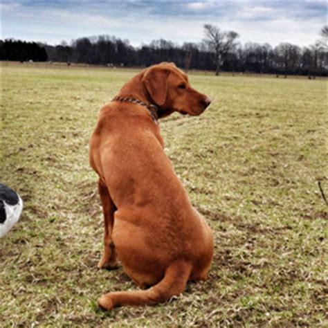 fox lab puppies for sale in pa labrador breeders in nc home design idea
