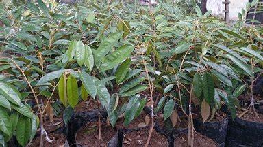 Cari Bibit Durian Musang King bibit durian musang king pekanbaru bibit durian montong
