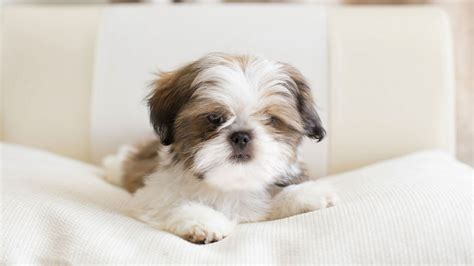raza shih tzu precio raza de perro shih tzu origen