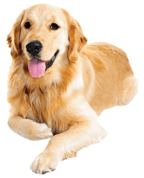 golden retriever vaccination cost paw plans river city veterinary hospital meridian id