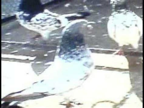 Golden Zubair Top Hq high flying pigeons doovi