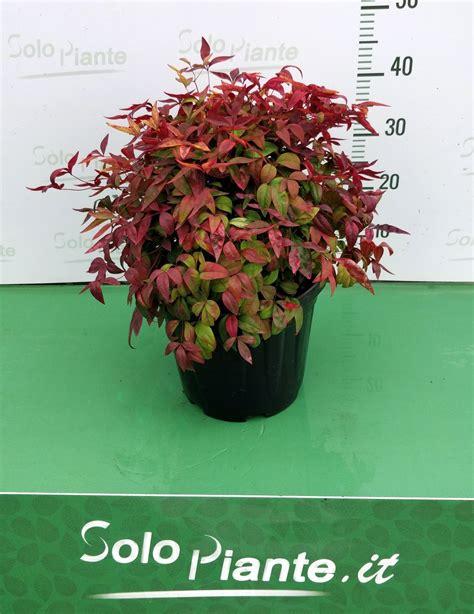 nandina domestica in vaso nandina power vaso 24 cm vendita piante on line