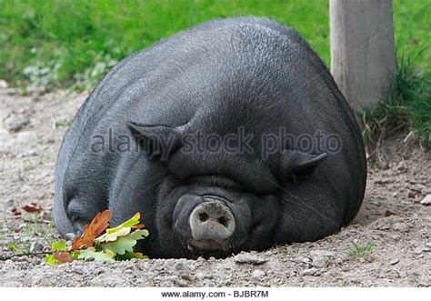 pot belly pug pot bellied pig stock photos pot bellied pig stock images alamy