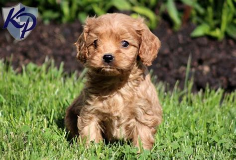 cavapoo puppies for sale ny 17 best ideas about cavapoo puppies for sale on cavapoo for sale cockapoo