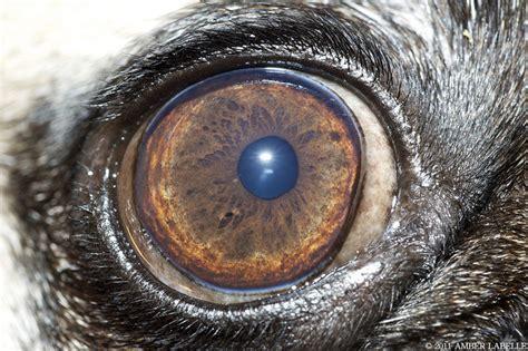 pug eye chic testing 1 pug club of america