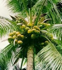 Banana Crop Putih sacred trees in india kannadiga world