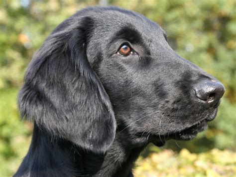 flat coated retrievers flat flat coated retriever wallpapers hd download