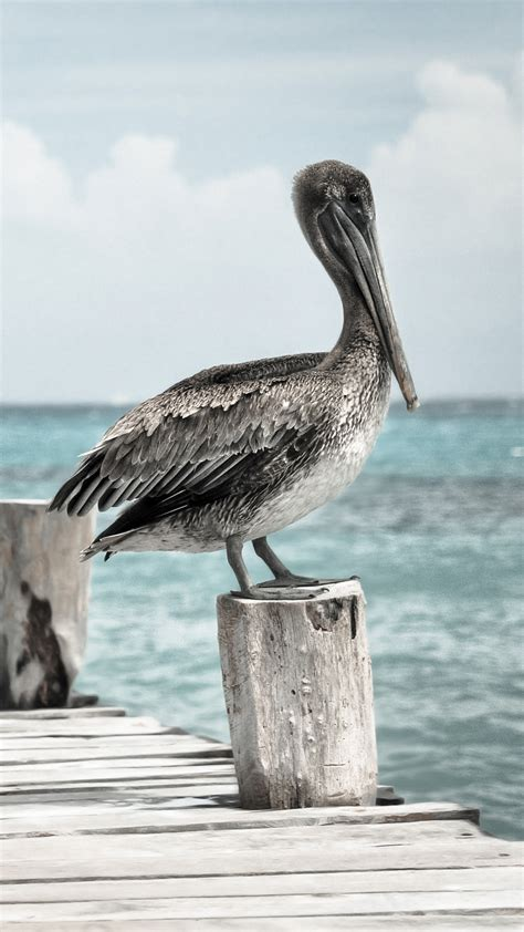 themes pelican blog pelican hd wallpaper for your mobile phone