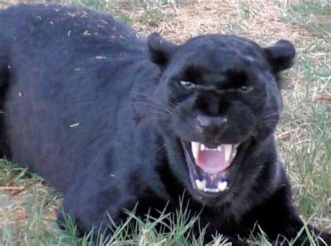 Black Leopard black leopard in heat cat growls snarls displays