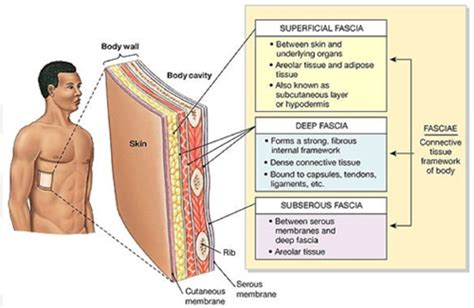 layer of fat on back of head pro chiropractic what is fascia and why is it important