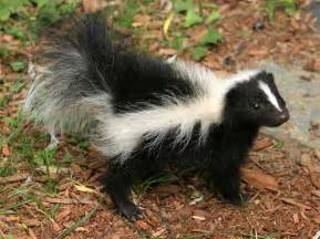 the hillwood herald a skunk s life