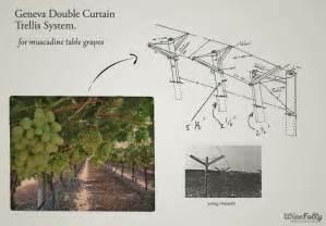 vine trellis systems table grapes vs wine grapes wine folly