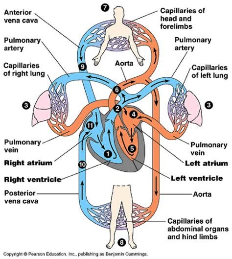 diagram of the circulatory system science circulatory system