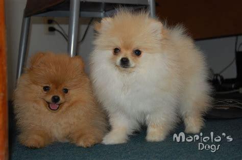 perros pomeranian criadero de pomeranian en guadalajara perros pomerania en guadalajara pomeranian mexico