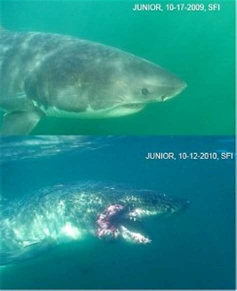 the shark names the submarine whale watching boat full video of injured shark shows numerous natural