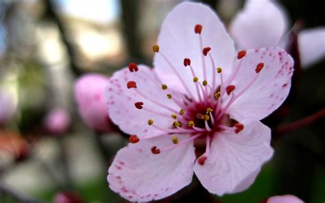 flowers in bloom sakura flower in full bloom hd wallpapers sakura flower in