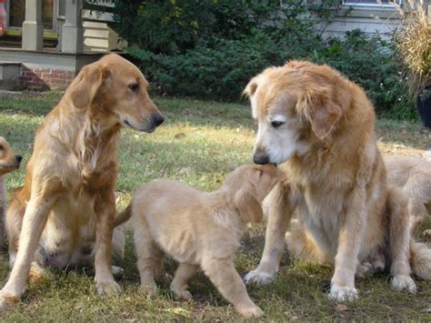 weaning golden retriever puppies 86 the with pups 25 pictures of puppies and dogs for