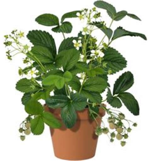 4 plants you can grow today to keep mosquitoes away the meer dan 1000 afbeeldingen over aardbeienplant strawberry