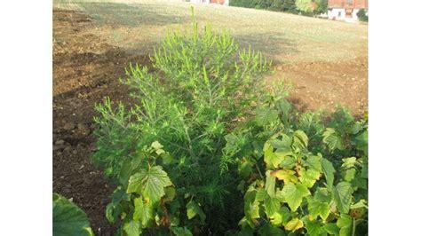 Brennessel Als D Nger 4930 by Pflanze Gegen Maulw 252 Rfe Kamelie Camellia Japonica Rosa Bl