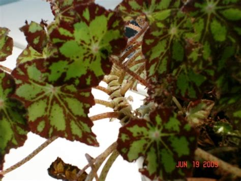 call this houseplant rex begonia that is