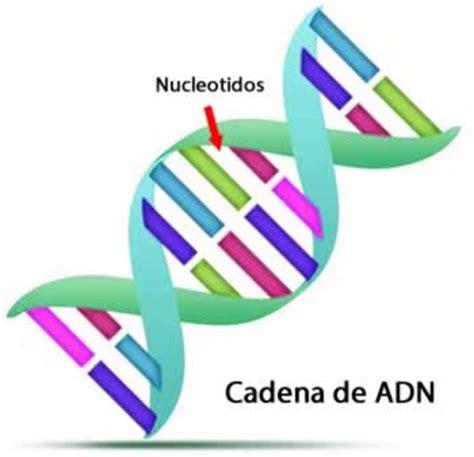 cadenas adn y arn caracter 237 sticas del adn