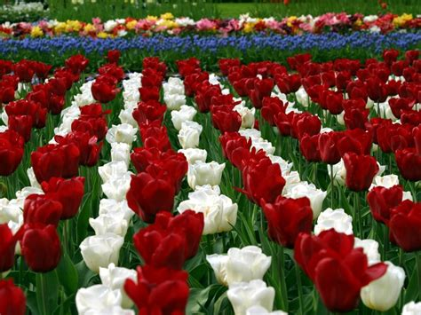 tulip flower garden tulip gardens hd wallpapers hd nature wallpapers