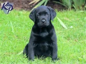 Nessa cavachon puppies for sale in pa keystone puppies