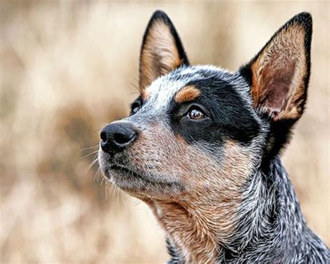 australian cattle 25 best cattle dogs ideas on adorable animals facts about puppies and