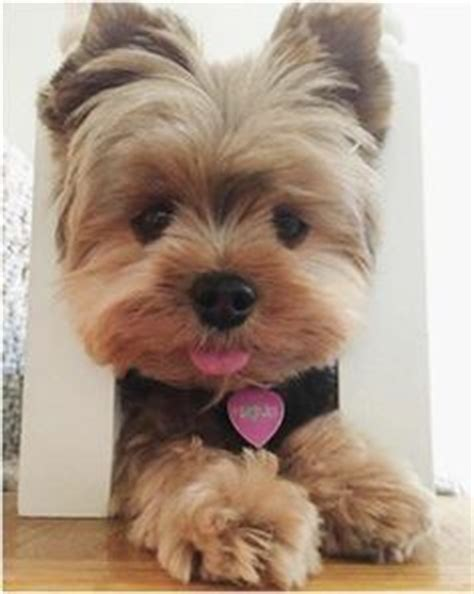 yorkshire terrier with curly hair and more stocky parti yorkies parti yorkies for sale party yorkies for