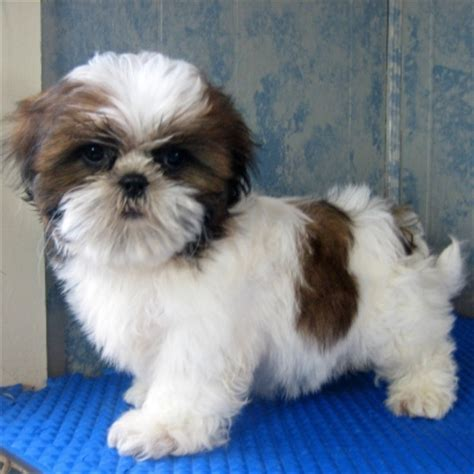 shih tzu puppies in puppies pictures