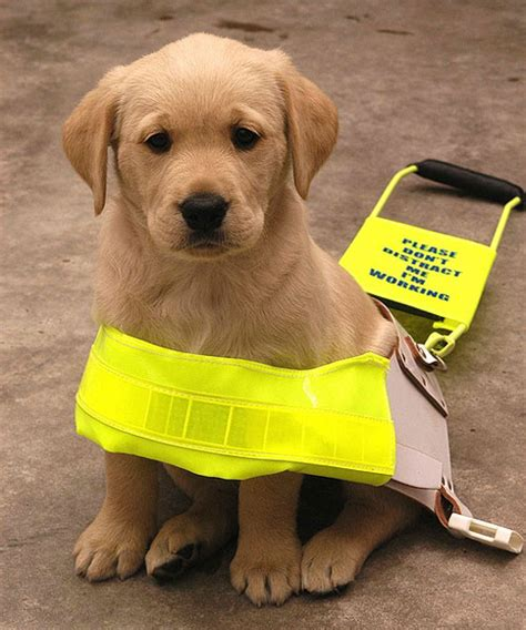 how to guide dogs how to teach a puppy not to bark at pitbull intelligence ranking facts about