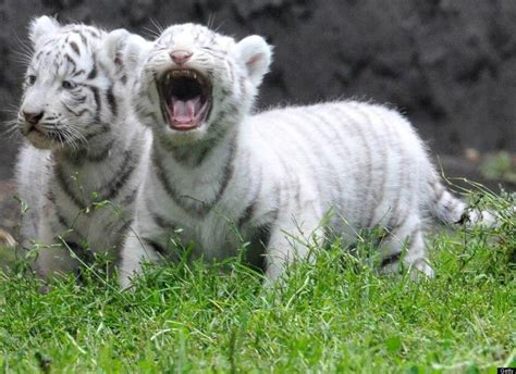 Baby White Tiger baby white tiger wallpapers wallpaper cave