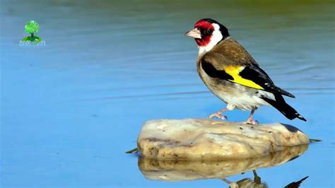 european goldfinch song 2016 07 youtube