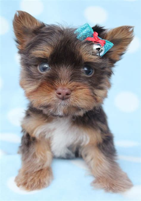 chocolate teacup yorkie 64 best images about yorkie puppies on yorkie puppies for sale
