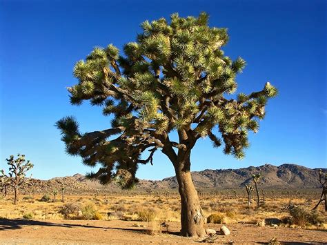 Joshua Tree pin the joshua tree on