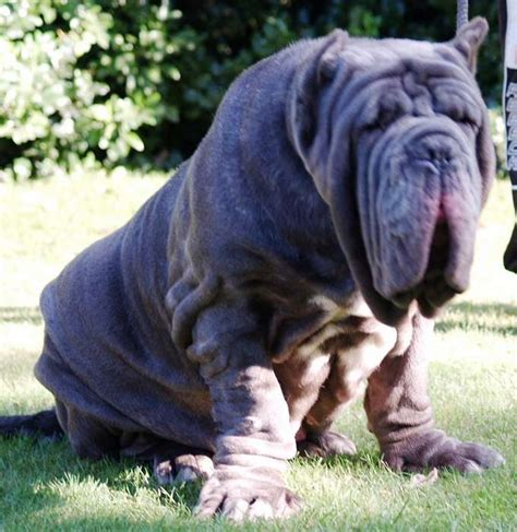 hippo puppy terrierman s daily dose this is a protection and guarding breed
