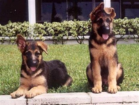 german shepherd ears 17 best images about german shepherd on german
